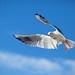 Seagull at Lago di Garda