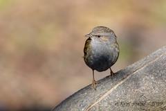 05022019-gDSC_8673 (Eyas Awad) Tags: passerascopaiola prunellamodularis eyasawad nikond800 nikond4 nikond500 sigma500f45 nikonafs300mmf4 tamron70200mmf28 nikkor200400mmf4 bird birds birdwatching wildlife nature