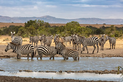A Dazzle of Zebras at the Watering Hole (Jill Clardy) Tags: africa kenya vantagetravel safari 201902139l8a4780 dazzle zebras watering ol pejeta conservancy sweetwaters tented camp hole