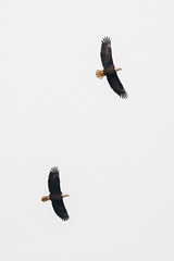 Pair of Eagles [12.20.18] (Andrew H Wagner | AHWagner Photo) Tags: 5dmk3 5d3 5dmkiii 5dmarkiii 5dmark3 canon eos 100400l 100400mm f4556l f4556 is ii usm zoom telephoto 100400lii conowingodam conowingo dam eagles eagle nature bird birdsofprey conowingohydroelectricplant conowingohydroelectricstation susquehannariver 14xiii extender teleconverter