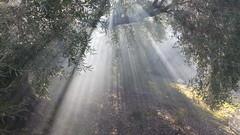 The Young Sun, The old Olive Tree (Tomás Hornos) Tags: sol sun soleil olve olivo olivar aceituna aceite tree mobilephotografy phone móvil fotosconelmóvil fotografíaconmóvil bq rayosdesol oleoturismo jaén sierradesegura