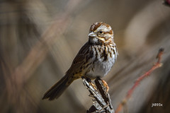 Song Sparrow (jt893x) Tags: 150600mm bird d500 jt893x melospizamelodia nikon nikond500 sigma sigma150600mmf563dgoshsms songsparrow songbird sparrow thesunshinegroup coth alittlebeauty coth5 sunrays5