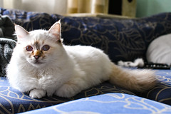 Salem, Birman Cat (Konshtintin) Tags: birman cat abraxas salem lovely cute white chocolate tabby point