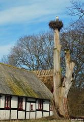 Storkbo på landet -Storks nest (larseriksfoto) Tags: stork storkbo storks nest veberöd lund tvet silvåkra korsvirkeshus vår