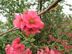 80:285, 2019, Flowering quince IMG_4345 (tomylees) Tags: publicgardens bocking braintree essex march 2019 21st thursday project 365