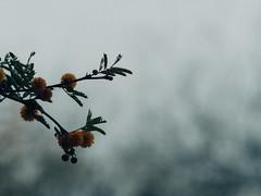 P1022629 (Claussm) Tags: jupiter 21m 200mm soviet russian lens vsco az arizona flower telephoto