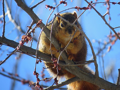 IMG_7050 (kennethkonica) Tags: nature animalplanet animal animaleyes autumn canonpowershot canon usa america midwest indianapolis indiana indy color outdoor wildlife squirrel tree blue