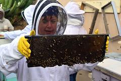 DSC_9762-61 (jjldickinson) Tags: nikond3300 107d3300 nikon1855mmf3556gvriiafsdxnikkor promaster52mmdigitalhdprotectionfilter longbeach bixbyknolls longbeachbeekeepers outreach class beeprepared insect bee honeybee apismellifera hive hiveinspection frame jenniferduke