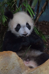 Yuan Meng @ Zoo de Beauval 16-05-2018 (Maxime de Boer (2)) Tags: yuan meng baby giant panda reuzenpanda zoo parc de beauval saintaignan animals dieren dierentuin gods creation schepping