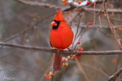 Northern Cardinal (mlello) Tags: d500 northerncardinal cardinal snow winter backyard backyardbird