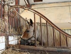 Cheval Breton en stalle (Arnadel) Tags: cheval chevalbreton haras stud horse lamballe bretagne cotedarmor stalle