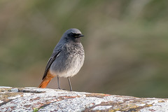 Black Redstart-175 (davidgardiner8) Tags: birds blackredstart shorehamfort thrushesandchats westsussex