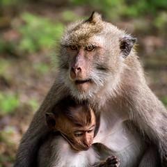 Long-tailed macaques, Baluran national park, Indonesia (pas le matin) Tags: macaque animal monkey travel voyage world asia indonesia indonésie southeastasia wildlife nature longtailedmacaque macaquecrabier macaqueàlonguequeue singe macacafascicularis crabeatingmacaque canon 7d canon7d canoneos7d eos7d baluran balurannationalpark parcnational