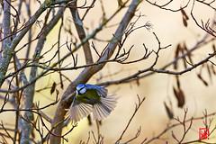 La mésange bleue est ....monogame ! (mamnic47 - Over 9 millions views.Thks!) Tags: royat 6c8a7400 mésangebleue vol ailes cyanistescaeruleus
