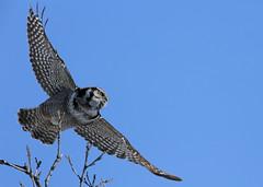 Northern Hawk Owl...#9 (waldo takes flight) (Guy Lichter Photography - 4.4M views Thank you) Tags: owlnorthernhawk canon 5d3 canada manitoba wildlife animal animals bird birds owl owls