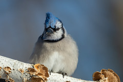 Blue Jay_44369-.jpg (Mully410 * Images) Tags: jay birdwatching birding backyard bluejay birds birder bird