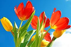 Tulip Flowers (misi212) Tags: tulip flowers