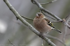 Pinson des arbres - Common chaffinch (dom67150) Tags: animal bird commonchaffinch fringillacoelebs male mâle nature oiseau pinsondesarbres wildlife