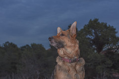 Liesl (Cruzin Canines Photography) Tags: animal animals canon canoneos5ds canon5ds canine 5ds eos5ds dog dogs pet pets gsd germanshepherd shepherd liesl portrait outdoors nature gardenofthegods colorado coloradosprings