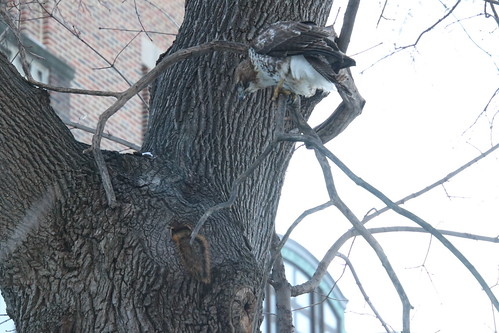 The Red-Tailed Hawk and the Fox Squirrels on a Cold, Snowy Day in Ann Arbor at the University of Michigan - February 1st, 2019