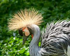 Crowned Crane (Me in ME) Tags: berlin zoo germany crane crownedcrane zoologischergartenberlin tierpark
