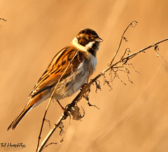 Reed Bunting male (Ted Humphreys Nature) Tags: reedbunting bunting britishisles tedhumphreysnature
