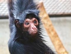 Zwarte slingeraap (Karin Michies) Tags: slingeraap zwarteslingeraap aap monkey dier animal zoogdier mammal dierentuin zoo gezicht face portret dierenfotografie animalphotography artis