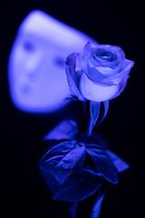 still-life 19-02-2019 003 (swissnature3) Tags: stilllife macro flowers light rose