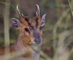 Muntjac (Alan McCluskie) Tags: muntjac muntjacdeer deer wilddeer animals mammal woods woodland nature wildlife