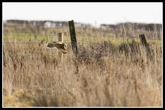 IMG_0108 Short-eared Owl (Scotchjohnnie) Tags: shortearedowl asioflammeus owl ornithology bird birdphotography birdwatching birdofprey birdinflight ukbirds wildanimal wildlife wildlifephotography wildandfree nature naturephotography canon canoneos canon7dmkii canonef100400f4556lisiiusm scotchjohnnie