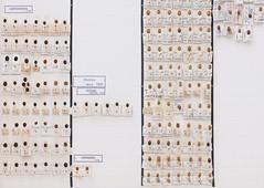 coleoptera-coccinellidae-exochomus-brumus-hyperaspis-aphidecta-L2-5645 (nmbeinvertebrata) Tags: ccbync nmbe5645 64116 coleoptera coccinellidae exochomus brumus hyperaspis aphidecta l2