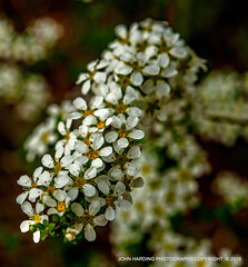 Bridal Veil (T i s d a l e) Tags: tisdale bridalveil bridalwreath spirea shrub tinyflowers winter 2019 easternnc