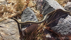 February 15, 2019 - A garter snake sneaks out early in the season. (LE Worley)