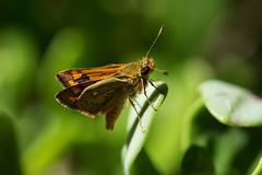 Orange Skipper Butterfly (Lenny Bander) Tags: australian australia butterfly skipper darter papillon orange butterflies