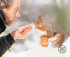Red squirrel standing on a acorn with man holding a acorn (Geert Weggen) Tags: squirrel red animal backgrounds bright cheerful close color concepts conservation culinary cute damage day earth environment environmental equipment love winter snow photo acorn nut food youngtree oak oaktree man person human bispgården jämtland sweden geert weggen hardeko ragunda