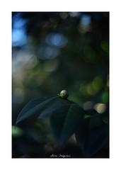 2019/1/26 - 9/15 photo by shin ikegami. - SONY ILCE‑7M2 / Voigtlander NOKTON CLASSIC 40mm f1.4 SC VM (shin ikegami) Tags: asia sony ilce7m2 sonyilce7m2 s7ii 40mm voigtlander nokton nokton40mmf14sc tokyo photo photographer 単焦点 iso800 ndfilter light shadow 自然 nature 玉ボケ bokeh depthoffield naturephotography art photography japan earth
