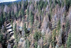 1972. Douglas-fir tussock moth defoliation. Eastern Oregon. (USDA Forest Service) Tags: usda usfs forestservice foresthealthprotection stateandprivateforestry region6 r6 divisionoftimbermanagement pacificnorthwestregion insectanddiseasecontrol forestinsect foresthealth forestprotection forestentomology pnw douglasfirtussockmoth defoliation 1972 oregon aerialphoto aerialsurvey aerialphotography oblique lowelevation