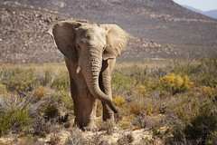 African Elephant, South Africa (Stefan Zwi.) Tags: elephant afrika southafrica südafrika karoo safari ngc npc