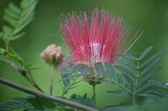 Ends of pink Powderpuff filaments twist and turn (jungle mama) Tags: powderpuff pink calliandrasurinamensis fairchildtropicalbotanicgarden fairchildgarden susanfordcollins