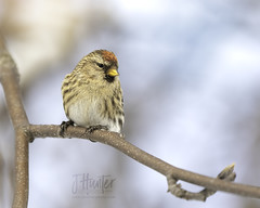 Redpoll (F) (J.Hunter Photography) Tags: