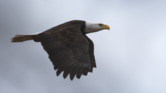 Flying Haliaeetus (TW Olympia) Tags: bald eagle skagit national wildlife refuge