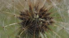 Dandelion (Bardazzi Luca) Tags: fiori flowers green luca bardazzi desktop wallpapers image olympus em10 micro four thirds 43 macro colori colore flora natura foto flickr photo picture internet web giardino