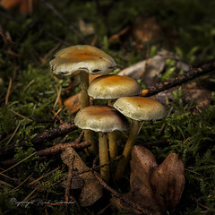 A happy new year to you all (Ruud.) Tags: ruudschreuder sony7m2 sony alfa 7 m2 sonyalfa sonyalpha ilce7m2 sonyalphadslr herfst autumn herbst automne kleur kleuren colors colours farbe couleur paddestoel paddestoelen zwam fungus fungi natuur nature natur 2870mm