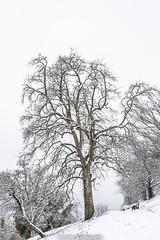Snowy Tree - January 2019 II (boettcher.photography) Tags: winter schnee snow januar january 2019 rheinneckarkreis badenwürttemberg germany deutschland sashahasha boettcherphotography boettcherphotos neckargemünd tree baum natur nature winterwonderland winterwunderland wintermärchen