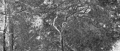 _B5A1995REWS 2200 Ink, © Jon Perry, 17-3-19 zbp (Jon Perry - Enlightenshade) Tags: jonperry enlightenshade arranginglightcom kew kewgardens 17319 20190317 bw blackandwhite trees