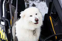 Jibelle (Kilian Sanlis) Tags: doubs franchecomté nature wild motherwood hiver winter snow neige fourgs samoyede samoyed chien dog animal canon eos 5d tamronsp2470mmf28divcusd