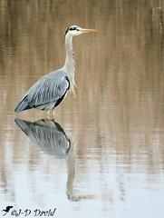Héron_46 (Jean-Daniel David) Tags: nature oiseau oiseaudeau réservenaturelle reflet eau lac lacdeneuchâtel héron héroncendré pêcheur yverdonlesbains suisse suisseromande grosplan