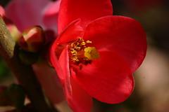 _DSC4627 (wdeck) Tags: japanischequitte blüte rot red