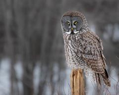 Great Grey Owl on post (dwb838) Tags: 8x10 greatgrayowl portrait post