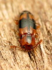 Handsome Fungus Beetle (treegrow) Tags: nature lifeonearth glendening maryland raynoxdcr250 arthropoda insect beetle coleoptera endomychidae phymaphorapulchella